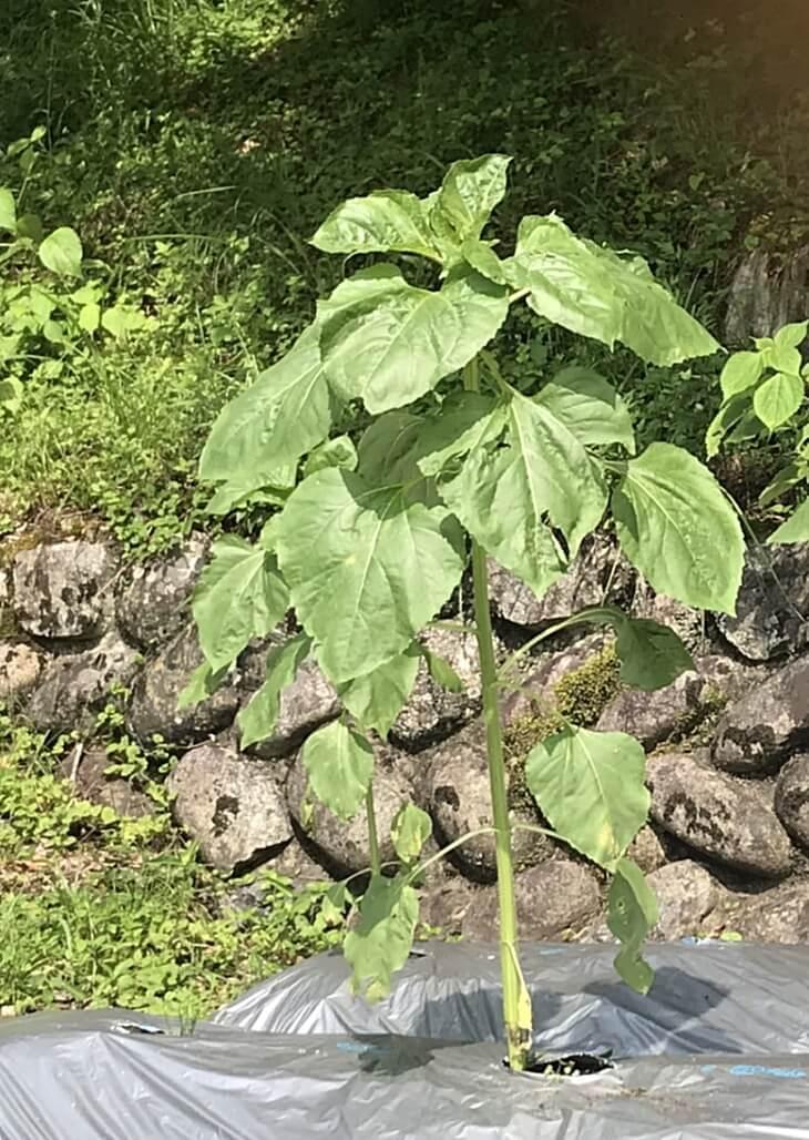 2020年 愛媛県上浮穴郡久万高原町立柳谷小学校の花壇のひまわり