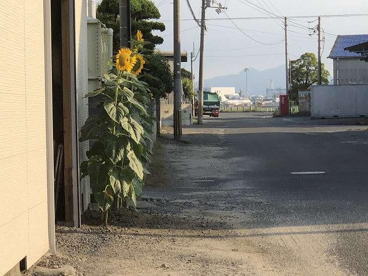 松山空港とひまわりの花