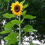 柳谷小学校で咲いた風船ひまわりの花
