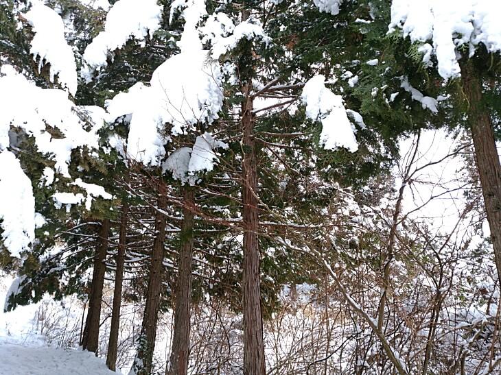 久万高原町の木に積もった雪
