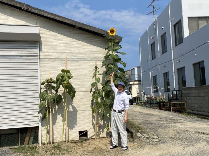 風船ひまわりが咲きました。2020古賀市立小野小学校
