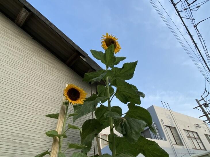 古賀市立小野小学校から来たひまわりが二本咲きました。