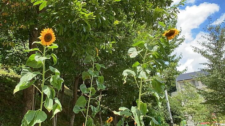 「風船ひまわり」の花(柳谷小学校の花壇で撮影)