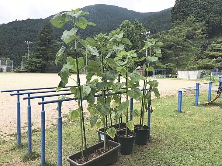 背が高く成長したひまわり 柳谷小学校