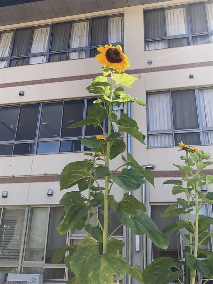 柳谷小学校の校舎とひまわりの花