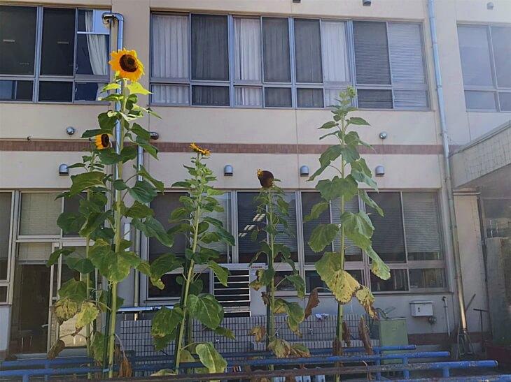 風船ひまわりと柳谷小学校
